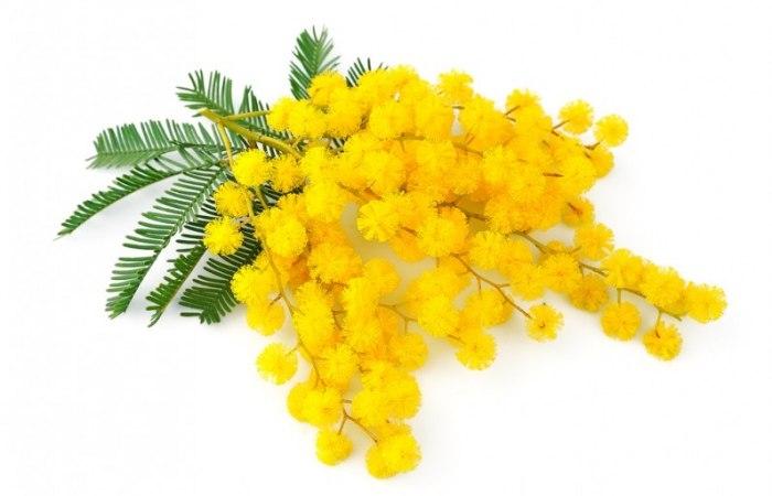/media/post/9hb5z78/coltivare-mimosa-796x512.jpg