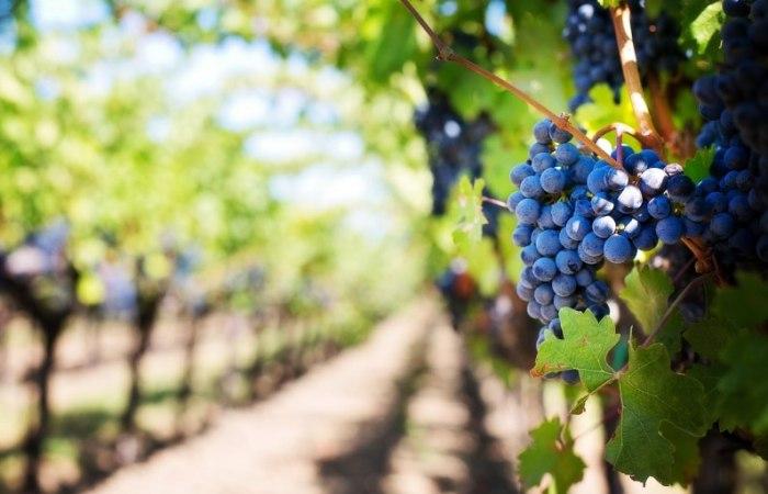 /media/post/ecr4rfh/purple-grapes-553463_1280-796x512.jpg